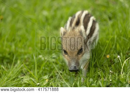 Beautiful Young Boar With Stripes On A Meadow In Springtime