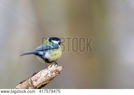 Great Tit (parus Major) Singing On A Tree Branch