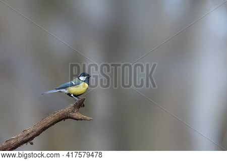 Great Tit (parus Major) On A Tree Branch