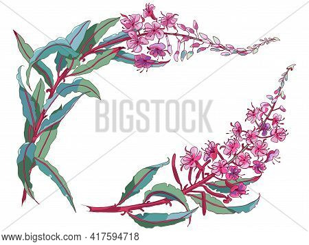 Willow-herb Tea, Ivan-tea Medicinal Plant. Branch Of Fireweed Flower On White Background.