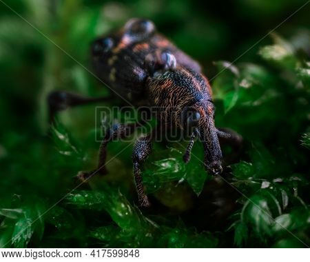 Macrophotography Of A Snout Beetle. Bug In The Moss Close Up. Curculionidae Insect. Beautiful Nature