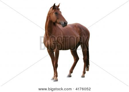 Handsome brown horse isolated on white background poster