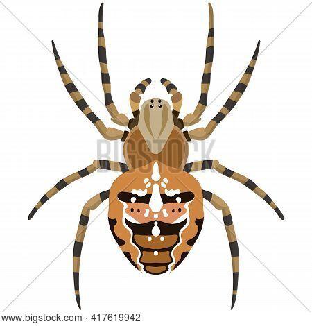Vector Spider Araneus Diadematus Illustration Isolated On White