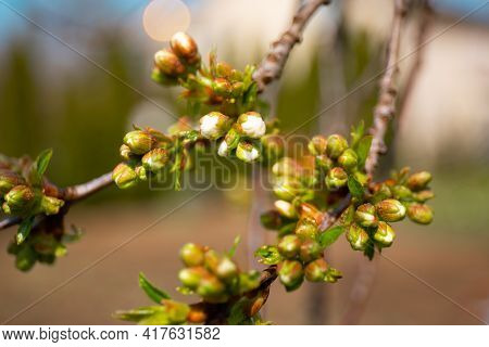 Thriving Maple Buds. Shallow Depth Of Field. The First Spring Gentle Leaves, Buds And Branches Macro