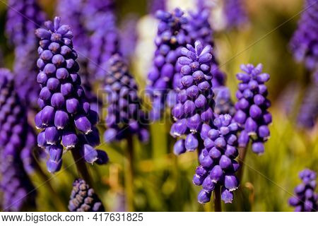Flowers Of Grape Hyacinth Isolated On White Background.