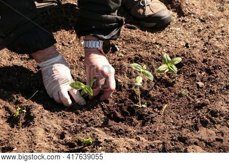 In The Spring, A Woman Plants Vegetables In The Garden. Plant Organic Products With Your Own Hands I