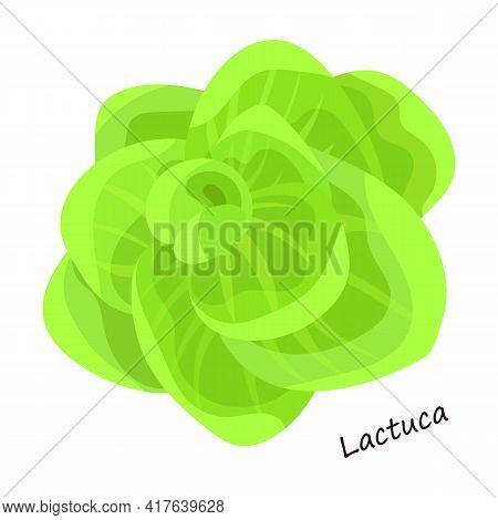 Lettuce And Salad Cartoon Vector Of Icon.cartoon Vector Illustration Leaf Of Lettuce. Isolated Illus
