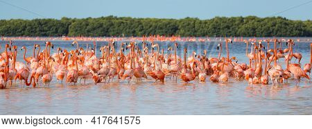 American Aka Caribbean Flamingos Phoenicopterus Ruber At The Lagoon Of Celestun, Yucatan, Mexico