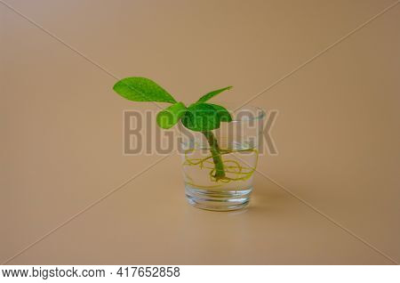 Sprout of Tree in a Glass of Water on a Beige Backdrop, Side View, Minimalist Style Home Decoration. Earth Ozone Layer Protection