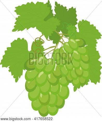Fruit Grape Branch On White Background, Bunch Of Grapes