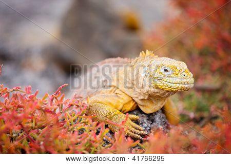 Land iguana endemic to the Galapagos islands, Ecuador