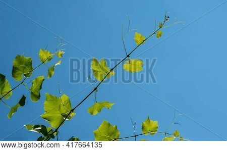 The Texture Of A Grape Vine Against The Blue Sky.