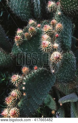 Beautiful background with prickly pear cactus botanical photography