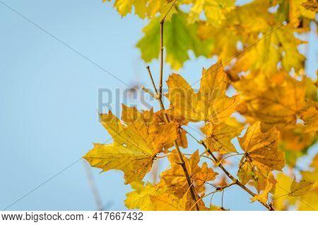 Novi Sad, Serbia - October 27. 2019: Plant Nursery In The Suburbs Of Novi Sad. Yellow Autumn Leaves