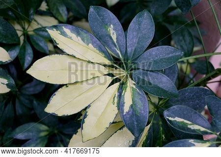 The White And Green Variegated Leaves Of Umbrella Tree 'trinette' , With Scientific Name Schefflera