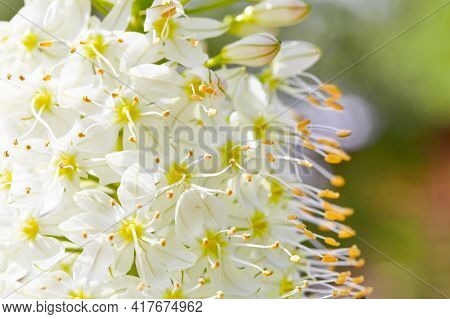 More Delicate Stamens On Small White Flowers. Natural Spring Background. Selective Focus, Copy Space