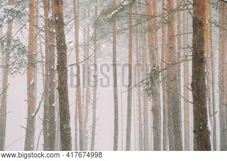 Beautiful Snowy White Forest In Winter Frosty Day. Snowing In Winter Frost Woods. Snowy Weather. Win