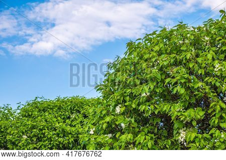 Apple Tree Branches With White Flowers On A Background Of Blue Cloudy Sky.