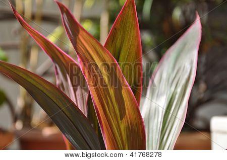 Red Ti Plant Five