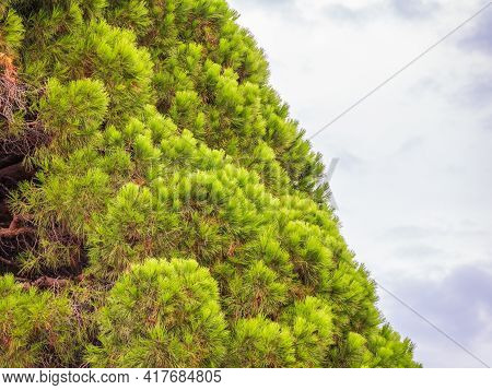 Green Pine Tree With Long Needles On A Background Of Cloudy Sky. Freshness, Nature, Concept. Pinus P