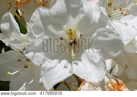 Close Up Of White Rhododendron Flowers With Pale Green Spots On The Petals With A Light Background O