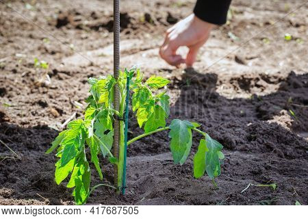 Growing Seedling Tomato Plant In Fresh Earth, Seeding And Gardening New Young Baby Plant Life, Farme