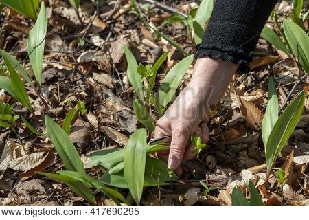 Harvesting Wild Garlic In A Deciduous Forest In Early Spring On A Warm Day