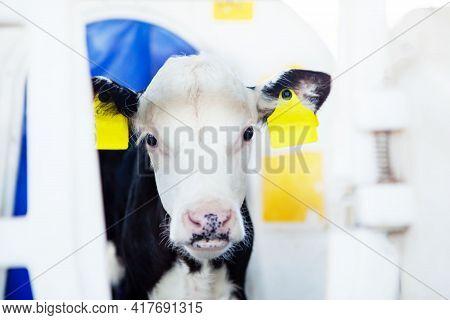 Cute Black And White Calf In A Calf Barn At A Dairy Farm. Calf Head, Close-up. Milk Production, Agri