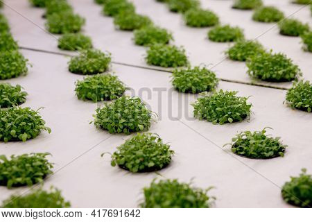 Germination Arugula On Rockwool For Hydroponic. Preparing For The Cultivation Of Plants In The Garde