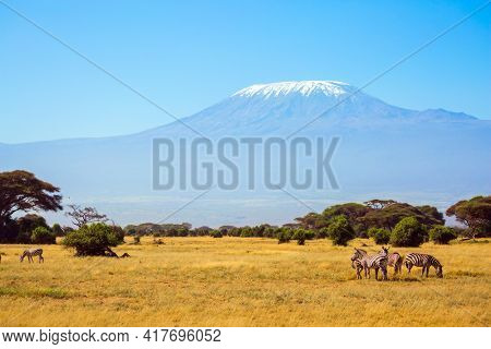 Herd of adorable striped zebras graze in the savannah. The peak is Mount Kilimanjaro with a snow cap on a flat top. Trip to the Horn of Africa, Kenya. Southeast Kenya, the Amboseli park