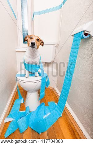 Jack Russell Terrier, Sitting On A Toilet Seat With Digestion Problems Or Constipation Looking Very