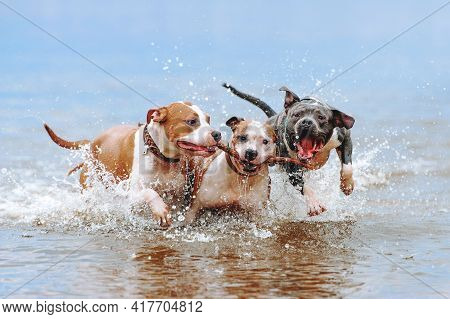 A Group Of Strong American Staffordshire Terriers Play In The Water With A Stick. Three Dogs Jumping
