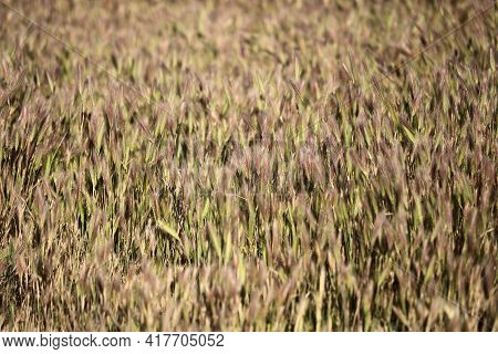 Grass Turning Brown During Summer On Windswept Grasslands At A Prairie In The Rural Countryside