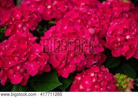 Bigleaf Hydrangea Garden Botany Flower Color Red