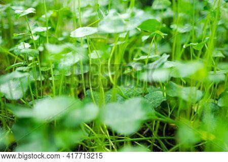 Asiatic, Centella Asiatica, Gotu Kola,  Indian Pennywor Park. Organic Herb Vegetable Nature. Raw Foo