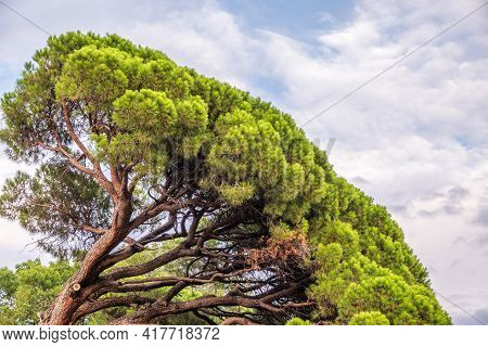 Green Pine Tree With Long Needles On A Background Of Cloudy Sky. Crown Of Lush Green Pine Tree With