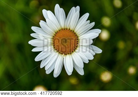 A Closeup Shot Of A Beautiful Oxeye Daisy Flower On A Blurred Background