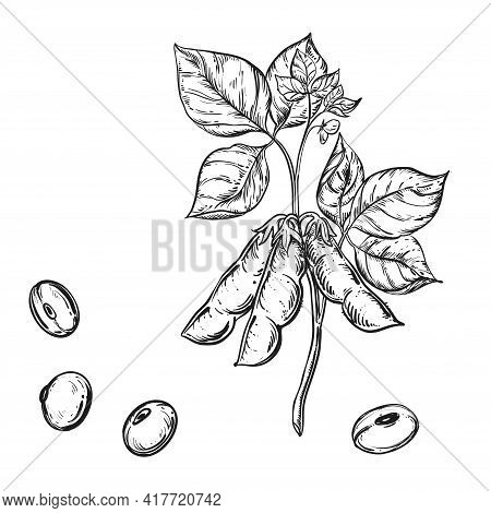 Hand Drawn Sketch Black And White Soybean, Soy Seeds, Leaf. Vector Illustration. Elements In Graphic