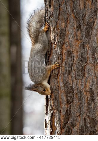 The Squirrel Clings To The Trunk Of A Pine Tree With Its Claws In The Upside-down Position And Gnaws