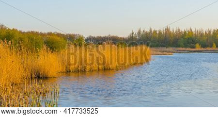 Reed Along The Edge Of A Lake In Wetland In Bright Blue Sunlight In Spring, Almere, Flevoland, The N
