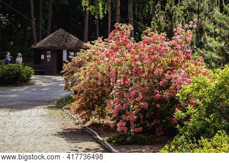 Kairenai, Lithuania - May 27, 2018: Big Bush Of Pink Rhododendron In The Botanical Garden.