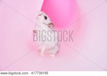 Dzungarian Grey Hamster In A Tube On A Pink Background. Hamster Looking For A Way Out. High Quality