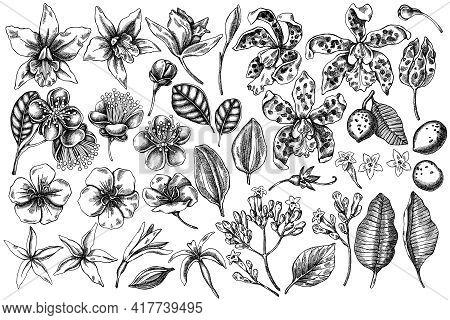 Vector Set Of Hand Drawn Black And White Laelia, Feijoa Flowers, Glory Bush, Papilio Torquatus, Cinc