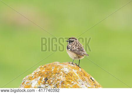 Bird Whinchat In Natural Habitat Saxicola Rubetra.