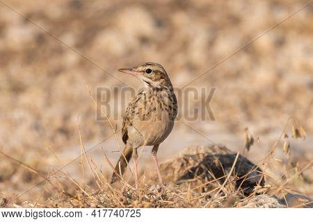Tawny Pipit, Anthus Campestris, Single Bird On Rock.