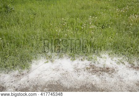 Poplar Fluff On The Path In The Street In Spring