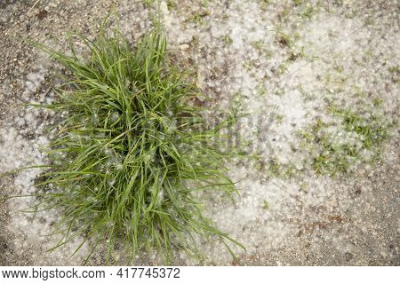 Green Grass Covered With Poplar Fluff In Spring