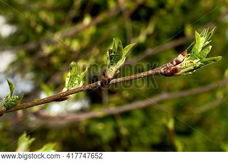 The Budding Buds Of The Tree. New Green Leaves. The Awakening Of Life In The Spring. Close-up, Selec
