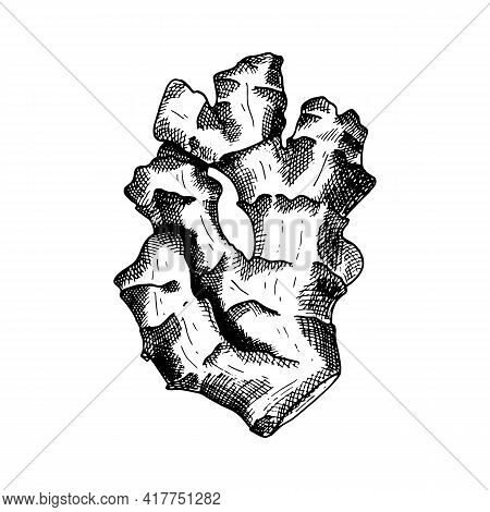 Ginger Vector Illustration. Hand Drawn Outline Black And White Ginger Root. Herbal Lineart Sketch Fo