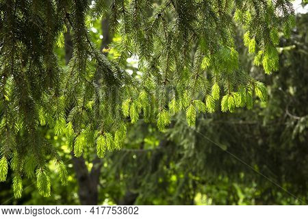 Young Shoots Of Spruce Tree In Spring Forest